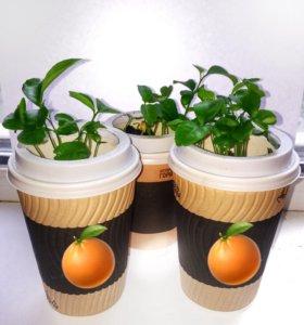 Мандарины 🍊 Цитрусовые растения 🌳