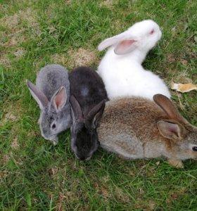 Продам мясных кроликов