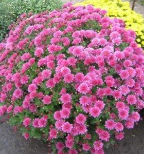 Шарообразная(низкорослая) хризантема.