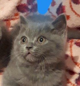 Котёнок скоттиш-фолды(шотландский)