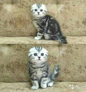 котята-вислоухие и прямоухие