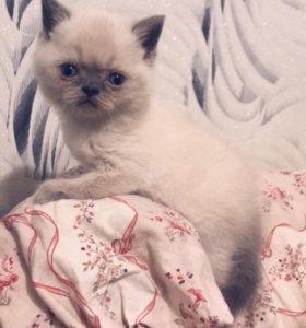 Котёнок породы шотландский страйт