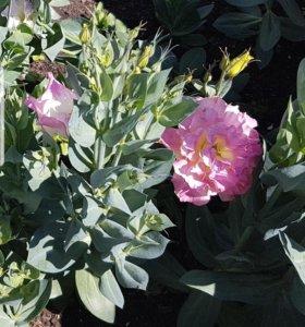 Рассада цветы Эустома (Ирландская роза)