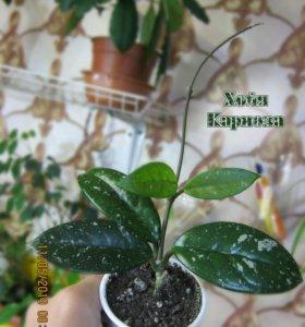 Hoya carnosa (Хойя Карноза, Восковой плющ)