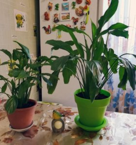 Спатифиллум, комнатный цветок