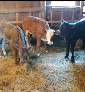 Продам теляти и бычки.