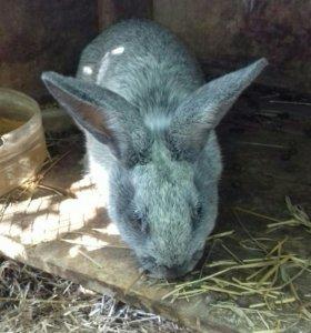 Кролики,самцы(на племя)
