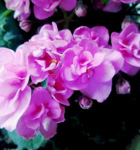 Фиалка ~ розовая ~
