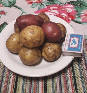 Картофель (мелкий)