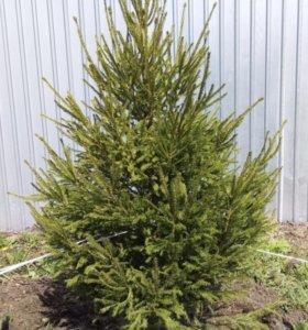 Ель сибирская зелёная 1,5 - 2 метра