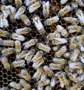 Пчелы (пчелопакеты), матки карники.