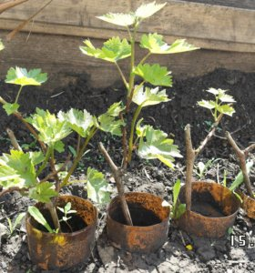 Саженцы винограда БАЙКОНУР - двухлетние