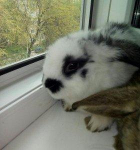 Декоративные кролики, вислоухий Ирландский баран