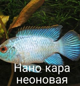 Аквариумные рыбки (цихлиды)