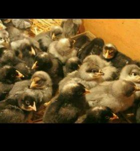 Цыплята суточные и подрощеные породы Доминант Крап