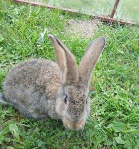 Кролики самки 6 мес