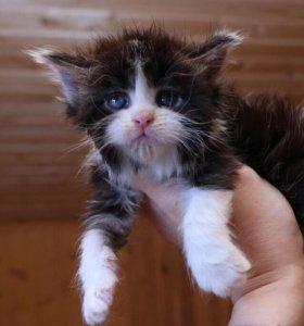 Котёнок мейн кун. Кошечка Нона