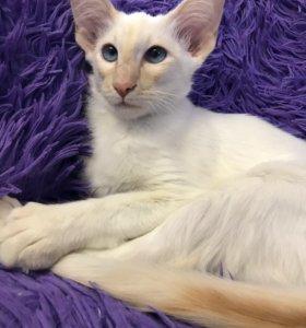 Балинизийский котёнок 5 месяцев