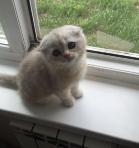 Мраморный шотландский вислоухий котёнок Приучен