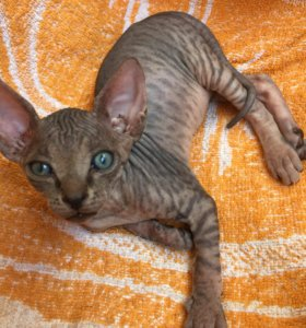 Замурчательный котёнок сфинкса резерв