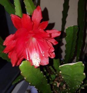 Эпифиллум, комнатные растения