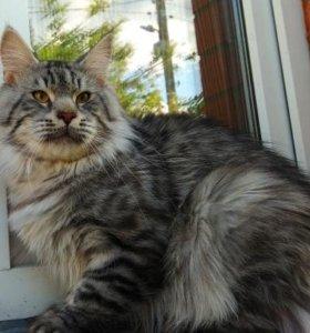 Кот мейн кун серебро 1,5 года