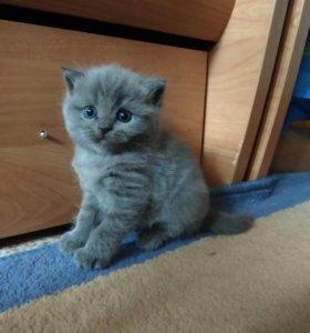 Котята шотландской вислоухой кошечки.