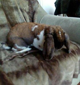"Кролик ,,Французский баран. """