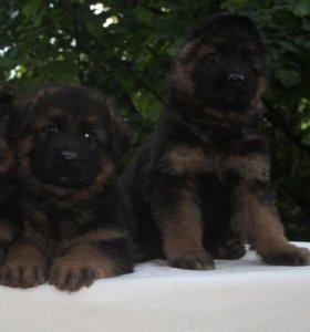 Продаются щенки длиношерстной немецкой овчарки