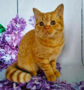 Красный британский котик с родословной!!!