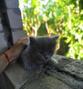 Котенок, смесь перса