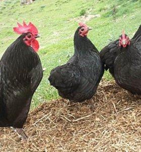 Семья кур несушек 3+1