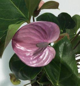 Антуриум Cavalli Purple