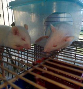 Крысы с клеткой