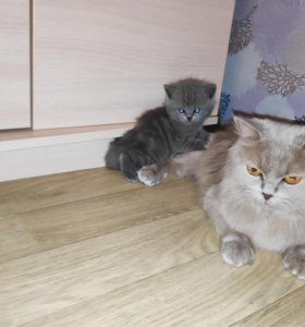 Шикарные британцы в ваш дом! Остался один котёнок!