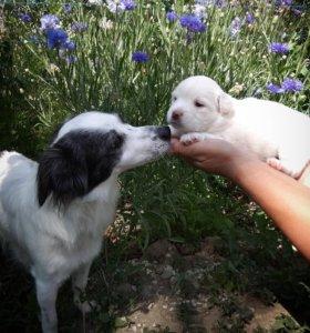 Собака - компоньен