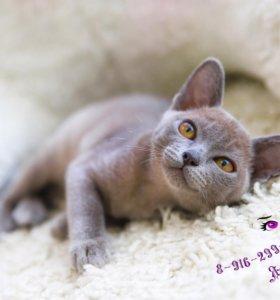 Котята бурманские