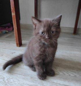 Шоколадный котенок.
