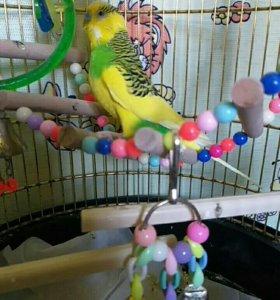 Волнисиый попугай с клеткой