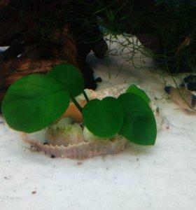 Растение для аквариума Анубиас в ракушке
