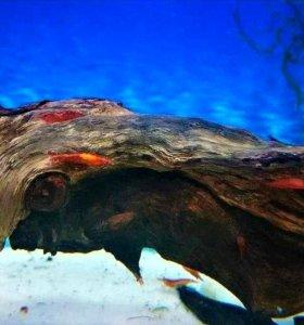 Креветки Вишни (неокаридины) для аквариума