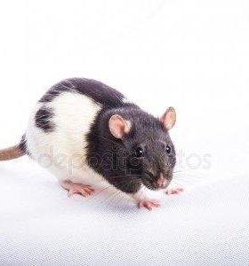 Крыска с большой клетккой
