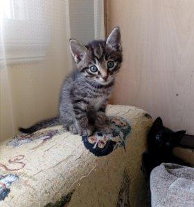 Котёнок 2 месяца мальчик