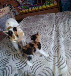 Трёхцветные котята.