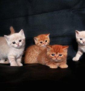 Британские котята по цене стирилизации