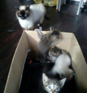 Котята от сиамской кошачьки