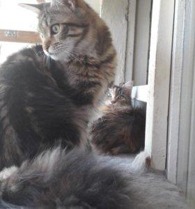 котенок мейн кун,девочка