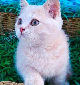 Кремовый британский котик!!!