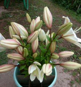 Лилия в срезке оптом
