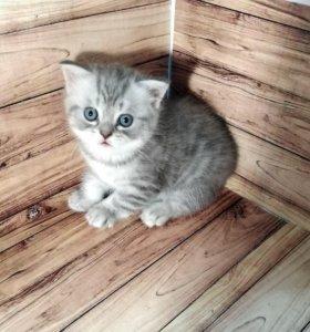 Шотландские прямоухие котята (скотиш страйт)